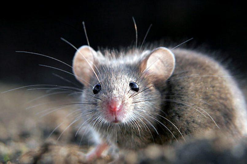 German scientists enable paralysed mice to walk again