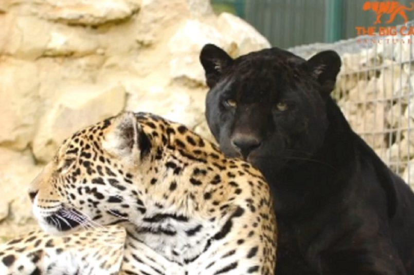 Jaguar love story