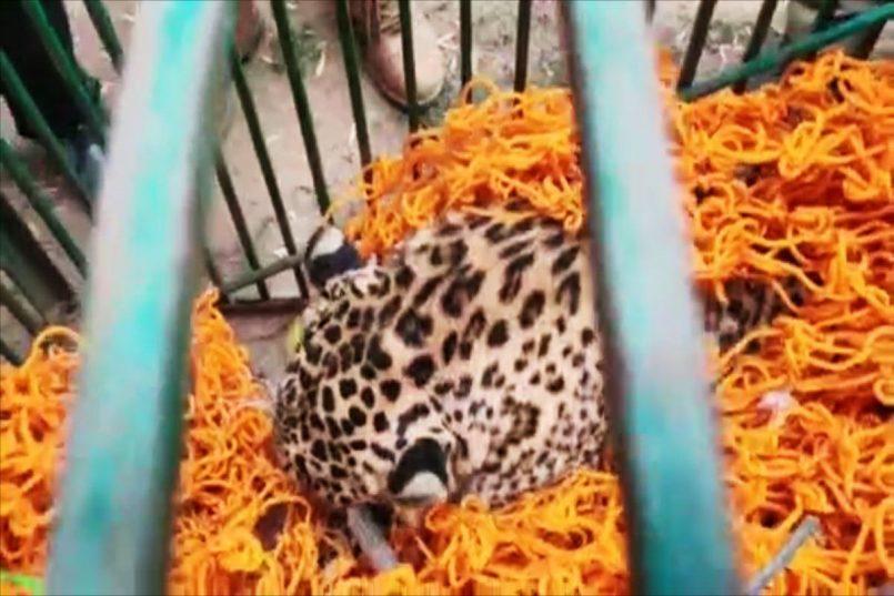 Leopard attacks man in Jammu's Gandhi Nagar