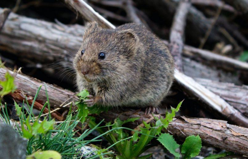 Mice Rain in Australia! Internet is Horrified
