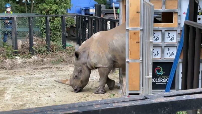 Looking for love, white Rhino Emma lands at Saitama Tobu zoo in Japan