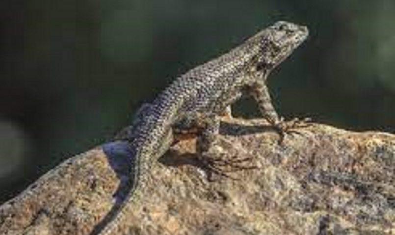 Researchers identify new species of extinct Lizard