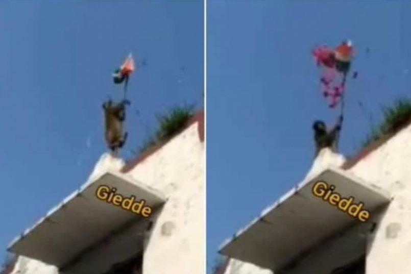 Monkey hosting tricolour