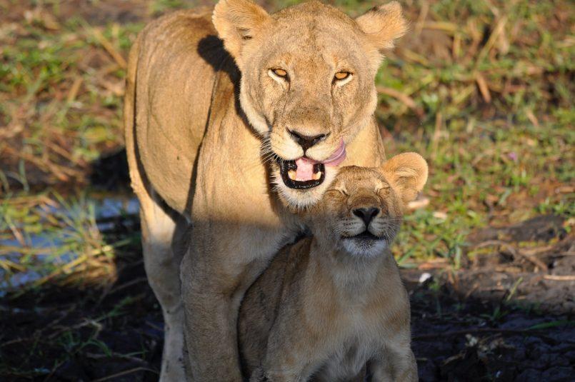 Viral video Adorable lion cub